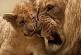 lion-animal-predator-big-cat-40803-sized