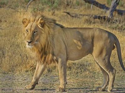 lion-wildcat-safari-africa-47036-sized